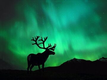 Caribou_in_Northern_Lights